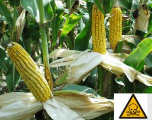 Corn Toxic