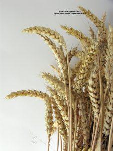 Grain breeding contributes to celiac disease